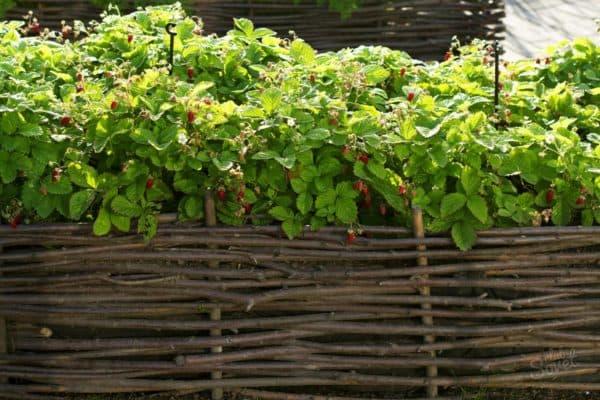 pleten vokrug maliny Как вырастить живую изгородь из ивы своими руками – этапы посадки и тонкости ухода